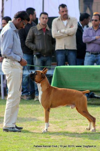 boxer,ex-119,sw-80,, WALGRE'S RED ROCK, Boxer, DogSpot.in