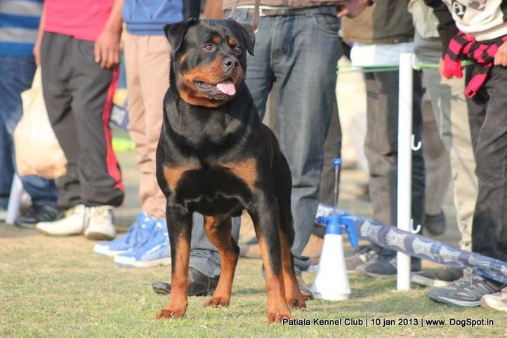 rottweiler,sw-80,ex-176, JACKSON, Rottweiler, DogSpot.in