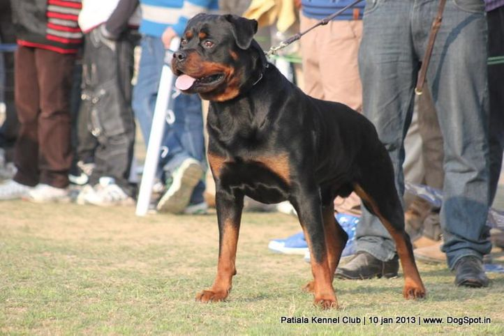 rottweiler,sw-80,, Patiala Dog Show 2013, DogSpot.in