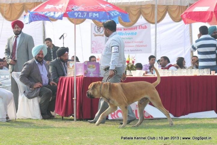 bull mastiff,sw-80,, Patiala Dog Show 2013, DogSpot.in