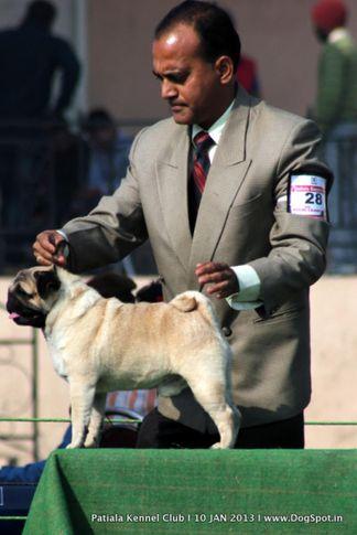 ex-28,pug,sw-80,, AM.Ch.AM.Gr.Ch.Hu-Chu-JK-Odi-T O-The Past, Pug, DogSpot.in