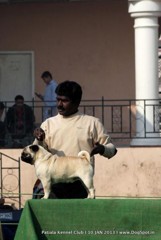 pug,sw-80,, Patiala Dog Show 2013, DogSpot.in
