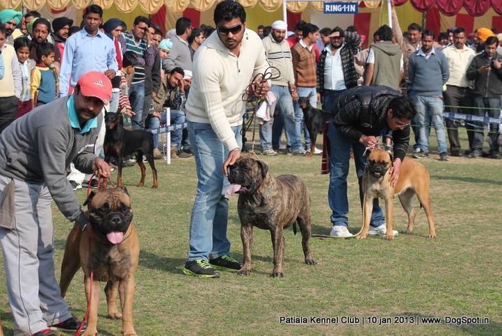 bull mastiff,sw-80,, Patiala Dog Show 2013, DogSpot.in