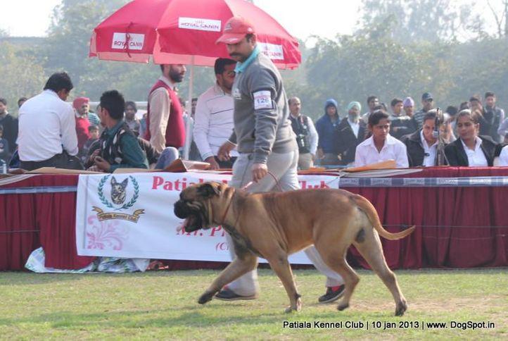 bull mastiff,ex-126,sw-80,, IRON STONE ROHILA OF NEHAMEN, Bullmastiff, DogSpot.in