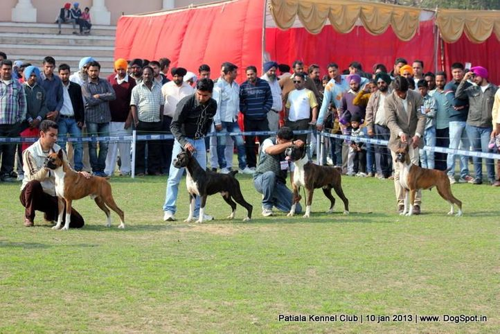 boxer,sw-80,, Patiala Dog Show 2013, DogSpot.in