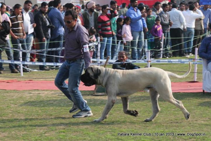 ex-150,mastiff,sw-80,, BAGHERA OF SHANKY, Mastiff- English, DogSpot.in