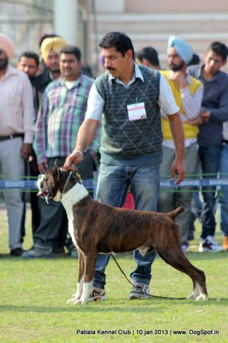 boxer,ex-255,sw-80,, Patiala Dog Show 2013, DogSpot.in