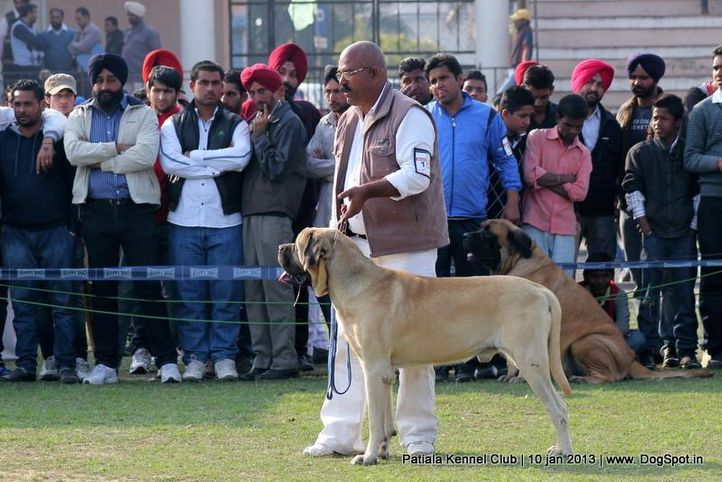 mastiff,sw-80,, Patiala Dog Show 2013, DogSpot.in
