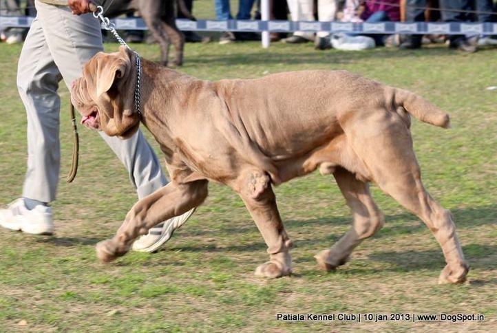 neapolitan mastiff,sw-80,, Patiala Dog Show 2013, DogSpot.in