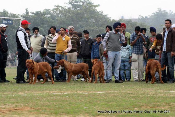 french mastiff,sw-32,, Patiala Kennel Club 2011, DogSpot.in
