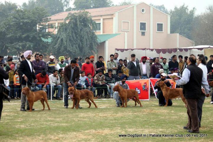 french mastiff,mastiff,sw-32,, Patiala Kennel Club 2011, DogSpot.in