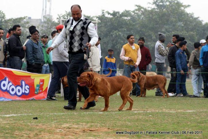 ex-191,french mastiff,sw-32,, KAKO, Dogue De Bordeaux, DogSpot.in
