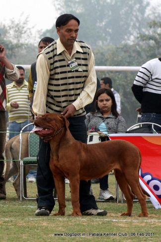 ex-178,french mastiff,sw-32,, MARRY, Dogue De Bordeaux, DogSpot.in