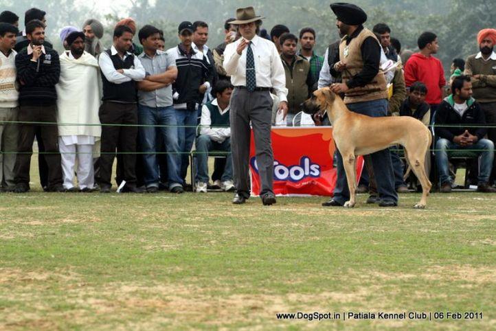 great dane,sw-32,, Patiala Kennel Club 2011, DogSpot.in