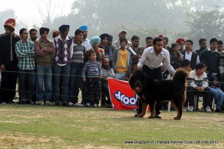 sw-32,tibetian mastiff,, Patiala Kennel Club 2011, DogSpot.in