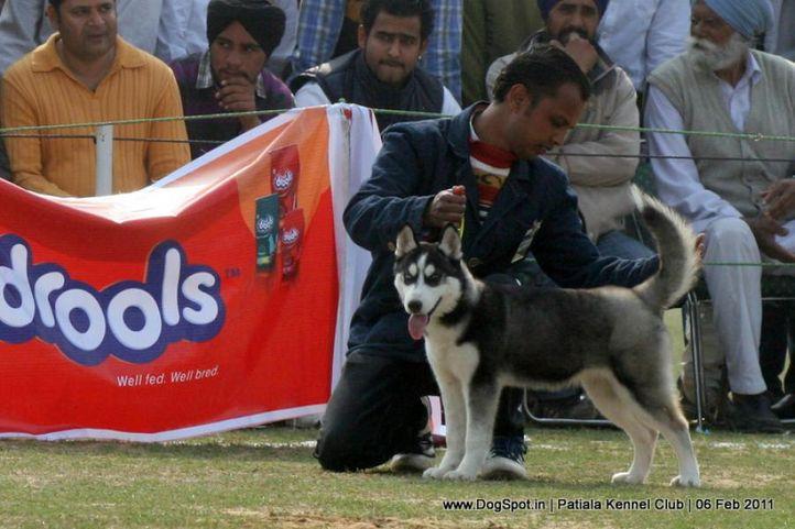 siberian husky,sw-32,, Patiala Kennel Club 2011, DogSpot.in