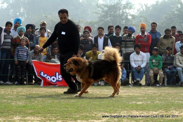 ex-278,sw-32,tibetian mastiff,, MARSHAL BIG BOY, Tibetan Mastiff, DogSpot.in