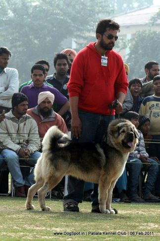 ex-276,sw-32,tibetian mastiff,, ZULUS ZORO, Tibetan Mastiff, DogSpot.in