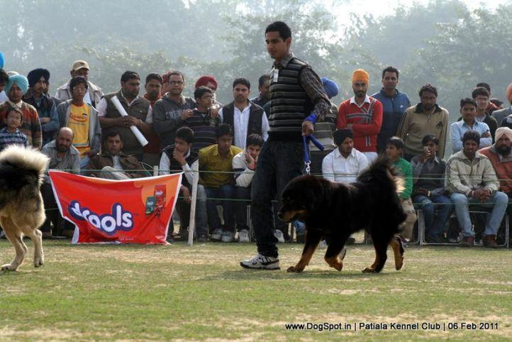 ex-270,sw-32,tibetian mastiff,, NANCY, Tibetan Mastiff, DogSpot.in