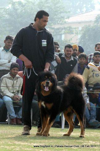 ex-269,sw-32,tibetian mastiff,, DON, Tibetan Mastiff, DogSpot.in