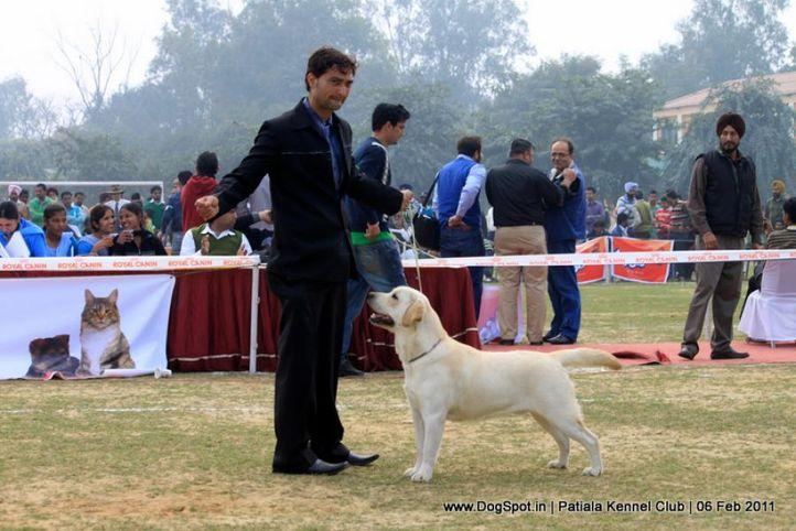 labrador,sw-32,, Patiala Kennel Club 2011, DogSpot.in