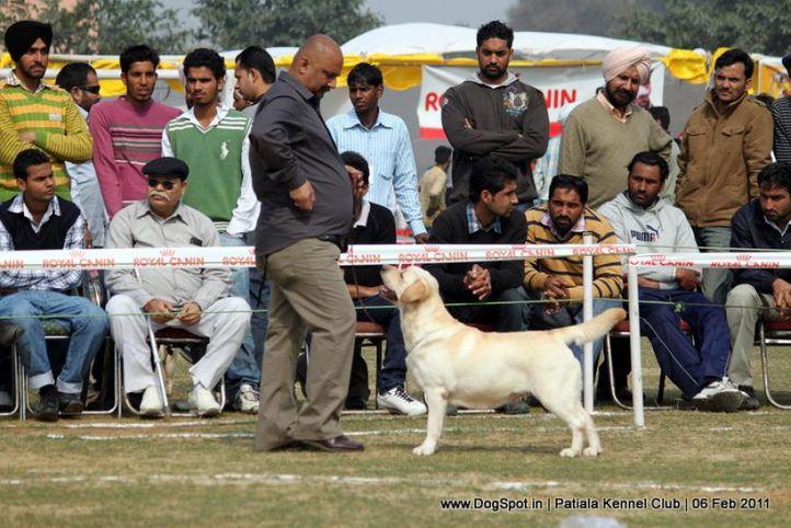 labrador,sunny,sw-32,, Patiala Kennel Club 2011, DogSpot.in