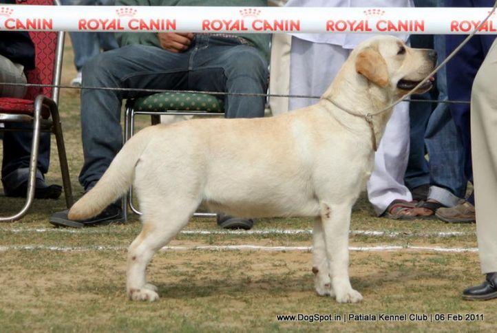 ex-122,labrador,sw-32,, BRANGELICA, Labrador Retriever, DogSpot.in