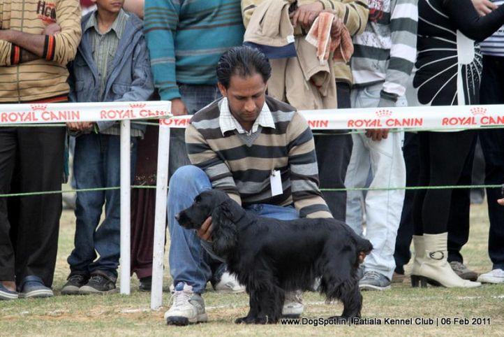 cocker spaniel,sw-32,, Patiala Kennel Club 2011, DogSpot.in