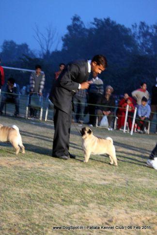 pug,sw-32,, Patiala Kennel Club 2011, DogSpot.in