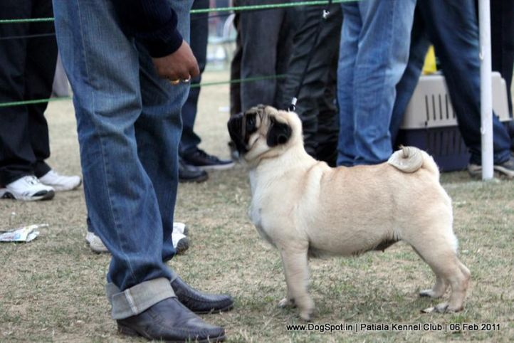 ex-24,pug,sw-32,, GLORIOUS STAR AT DAY, Pug, DogSpot.in