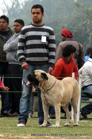 mastiff,sw-32,, Patiala Kennel Club 2011, DogSpot.in