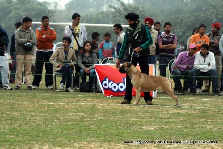 ex-169,mastiff,sw-32,, CH. OPAL GUARD KIST BY A ROSE, Bullmastiff, DogSpot.in
