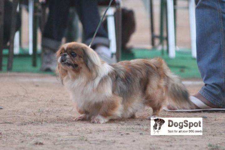 Pekingese,, Pekingese Chandigarh, DogSpot.in