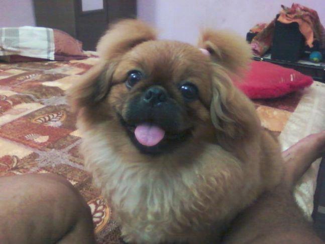 pekingese male milo, Pekingese male (milo), DogSpot.in
