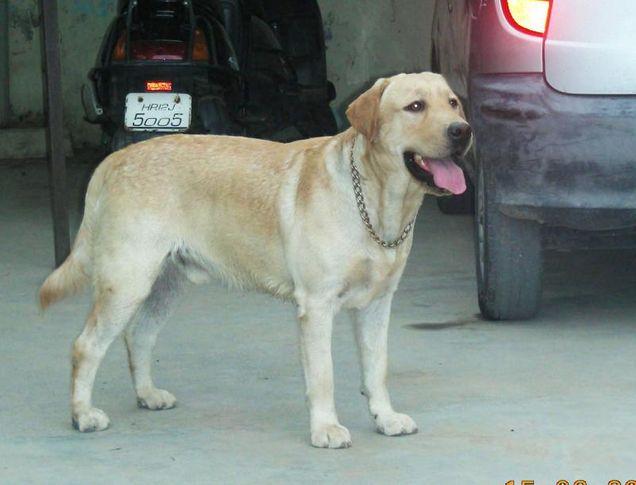 sudeo buckingham  uk import, My pets, DogSpot.in