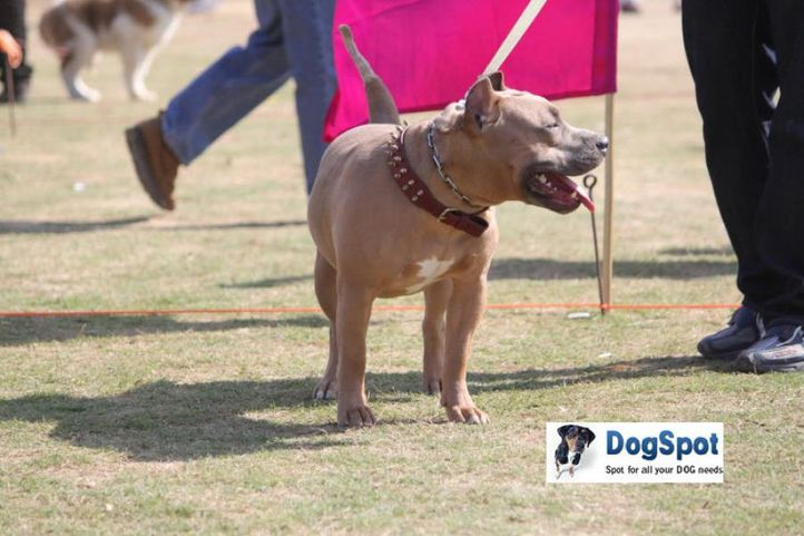 Terrier,, Pitbull, DogSpot.in