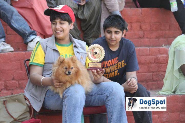 Pom,, Pomeranian, DogSpot.in