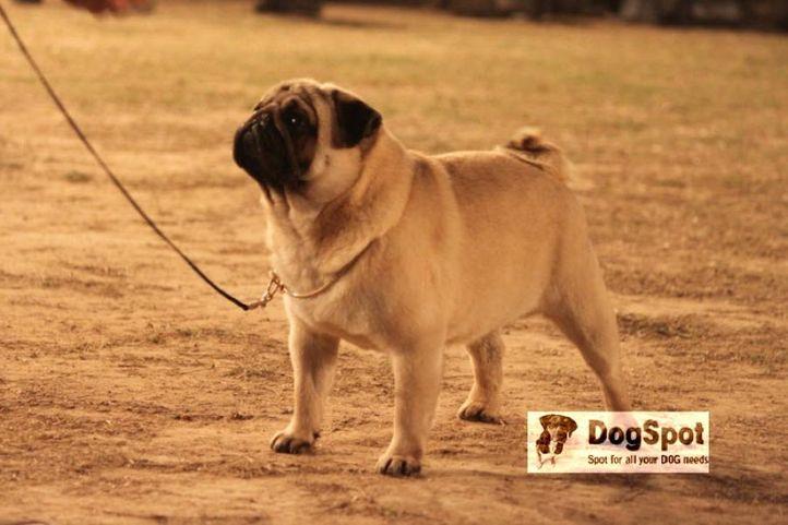 Pug,, Pug Chandigarh Show, DogSpot.in