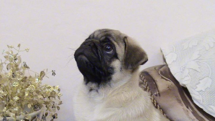 , my pug litter male pup, DogSpot.in