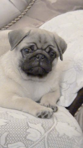 , pug male pup, DogSpot.in