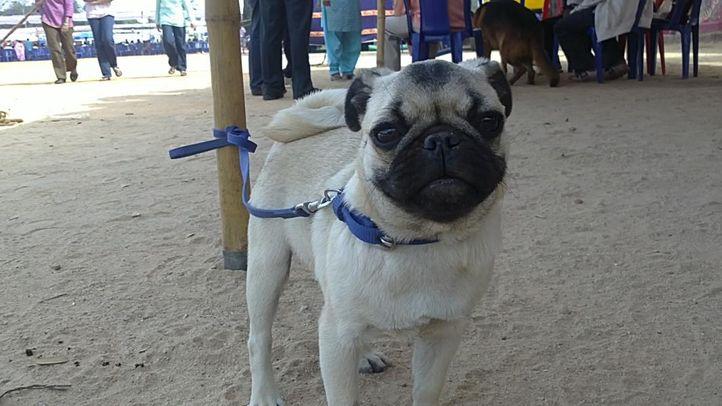 bangalore dog show photos, Pug, DogSpot.in
