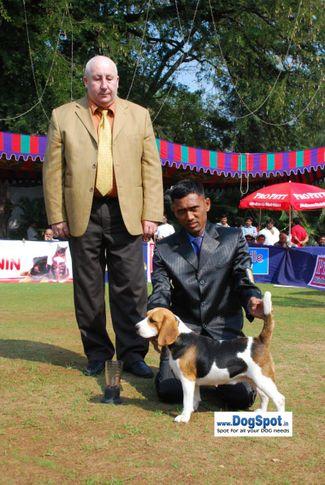 Beagle,, Pune 2010, DogSpot.in