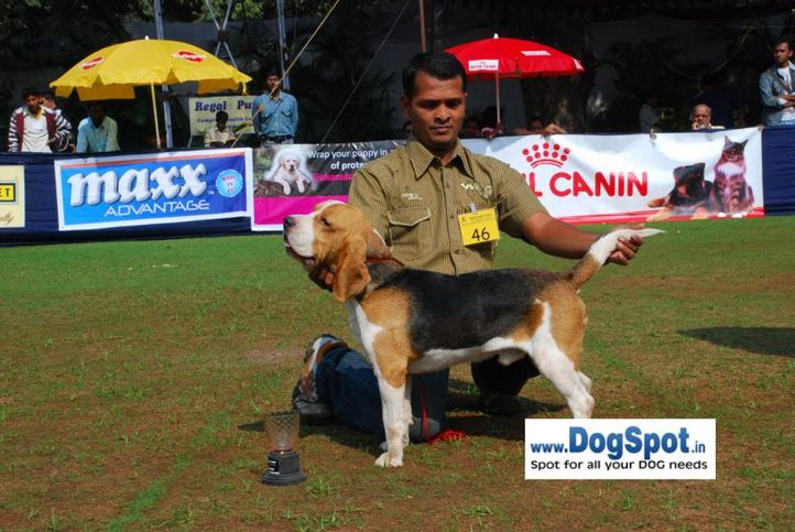 Beagle,, Pune 2010, DogSpot.in