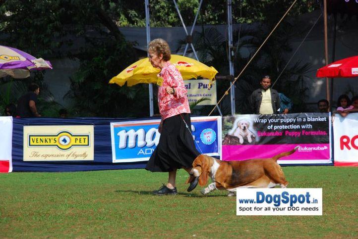 basset,, Pune 2010, DogSpot.in