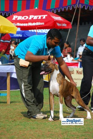 boxer,, Pune 2010, DogSpot.in