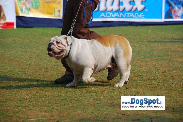Bull Dog,, Pune 2010, DogSpot.in