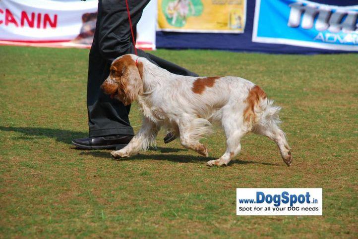Cocker,, Pune 2010, DogSpot.in