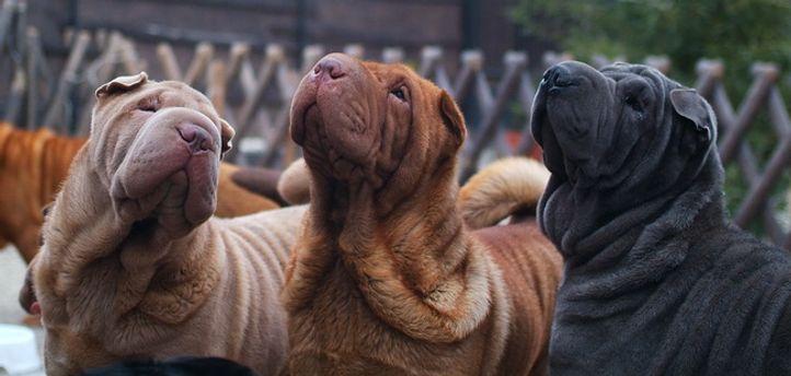 , Qi Ming Xing shar-pei kennel, DogSpot.in
