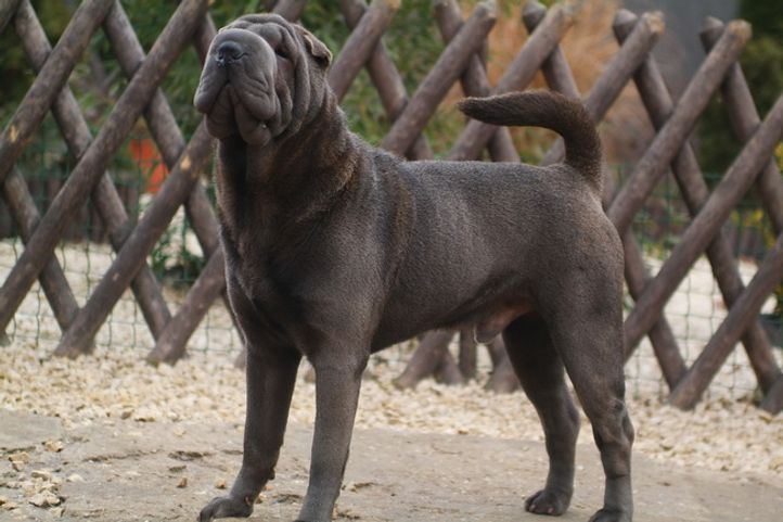 http://sharpei-dog.net, Qi Ming Xing shar-pei kennel, DogSpot.in