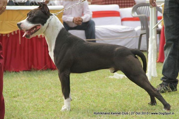 ex-147,staffordshire bull terrier,sw-95,, HASMEET'S TEDY, Staffordshire Bull Terrier, DogSpot.in